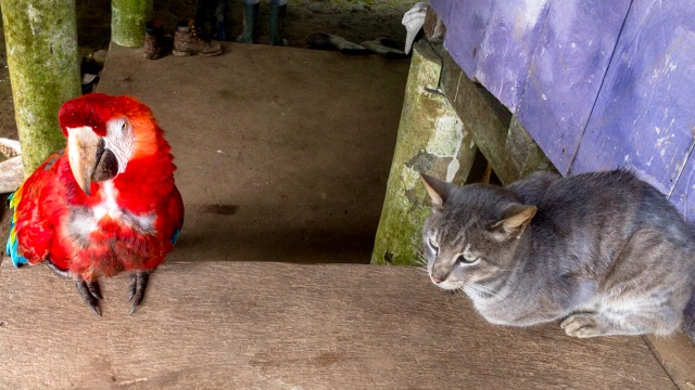 A macaw and a cat in the Amazon