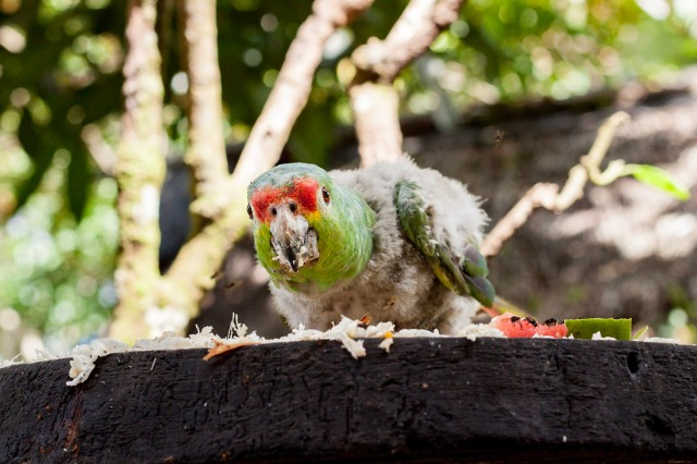 Parrot in the Amazon