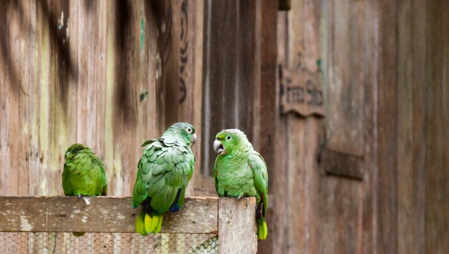 Parrots in the Amazon